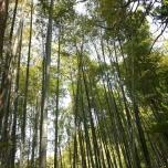 δάσος μπαμπού μέσα σε shrine