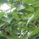 αυτές οι κερασιές είναι που ανθίζουν κάθε Απρίλιο, αλλά τα κεράσια αυτά δεν τρώγονται είναι άγρια