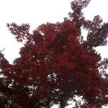 κατακόκκινο δένδρο